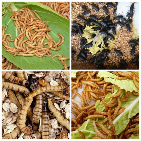 How to breed the mealworms