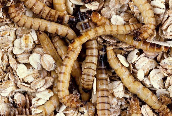 Mealworm raising