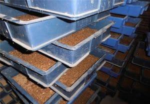 mealworm barley worm breeding
