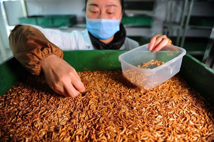 mealworm processing plant