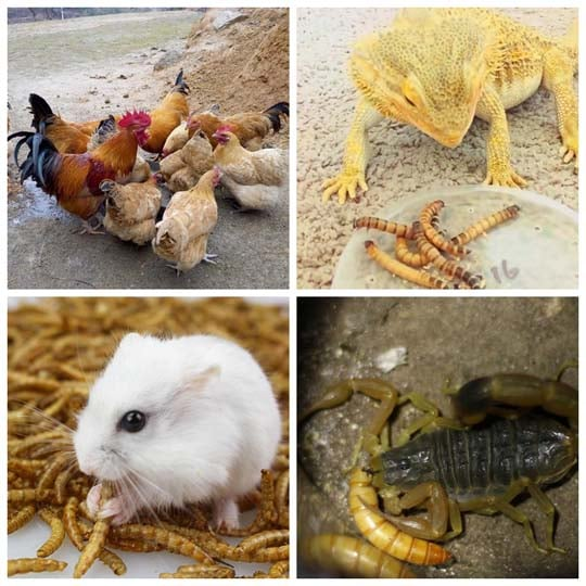 mealworms as the animal feed