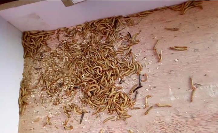 worm droppings and dead worms sieved by the mealworm machine