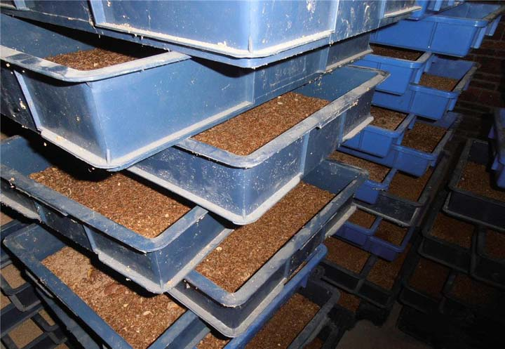 commercial mealworm breeding