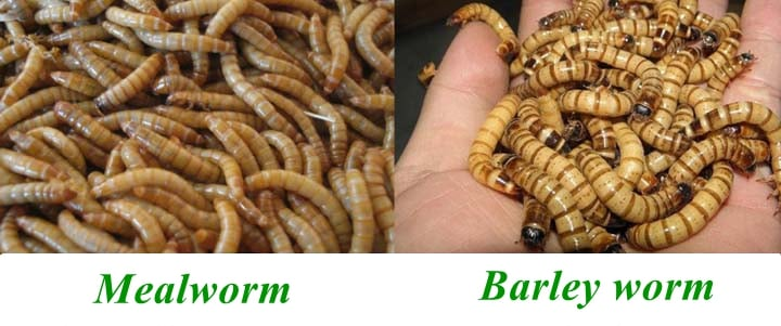 mealworm and barley worm