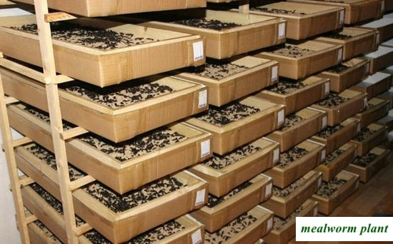 mealworm breeding farm in the United States