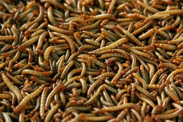 mealworm for processing